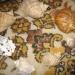 Продам Морские раковины