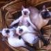 Продам Тайские (старосиамские) котята