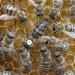Продам Пчелиные матки Серые горные Кавказские