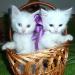 Отдам даром Белоснежные котята