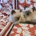 Продам тайский котенок