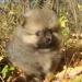 Продам щенки померанского шпица
