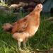 Продам Цыплята Кучинская Юбилейная