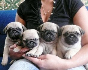 Продам щенки мопса