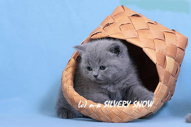 Продам Британские котята питомника Silvery Snow