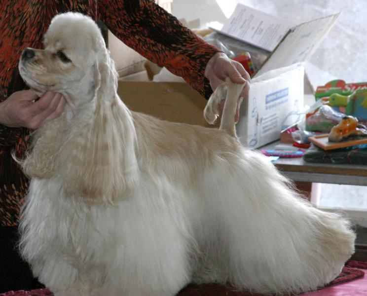 Продам Американского кокер спаниеля щенки
