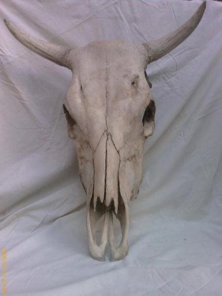 Продам череп коровий обработанный