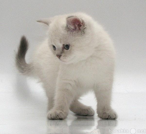 Продам шотландские фолд и страйт котята