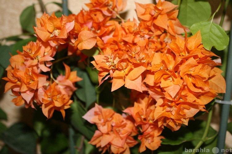 Продам Красивоцветущие бугенвелии