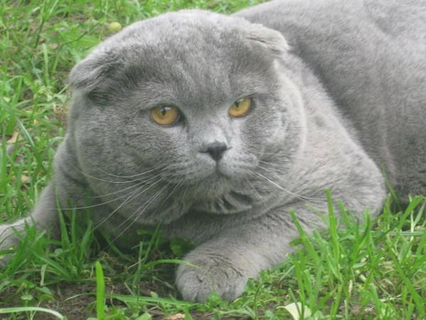 Продам шотландские фолд и страйт  коты для вязк