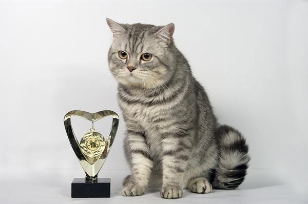 Продам шотландского страйт котик для вязки