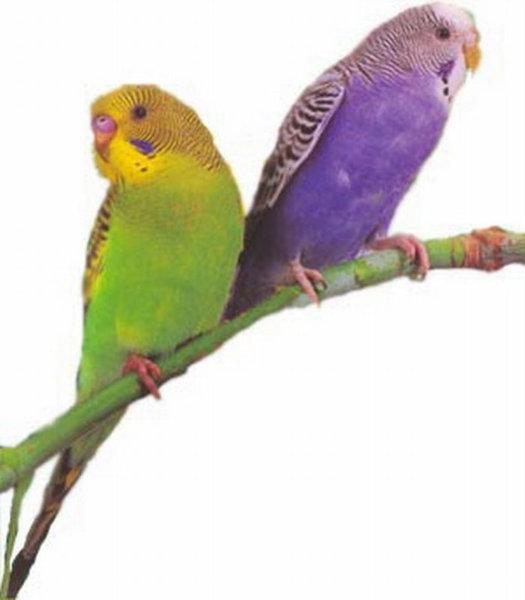 Продам Продаются волнистые попугаи