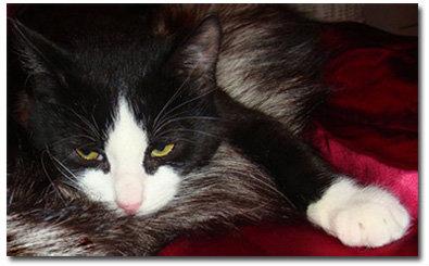 Отдам даром Черно-белого котенка (4 мес.)