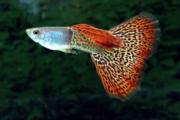 """Продам: Аквариумные рыбки """"Гуппи"""""""