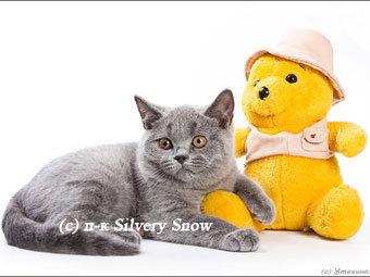 Продам Голубые британские котята из питомника
