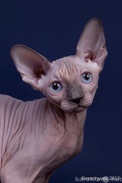 Продам: Племенные котята породы канадский сфинкс