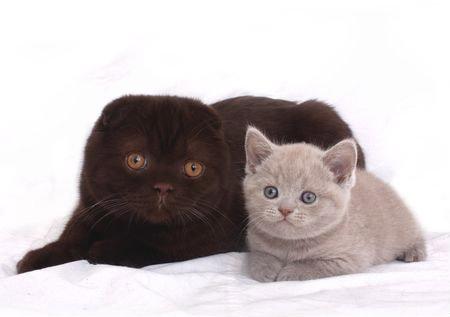 Продам Британские и вислоухие котята
