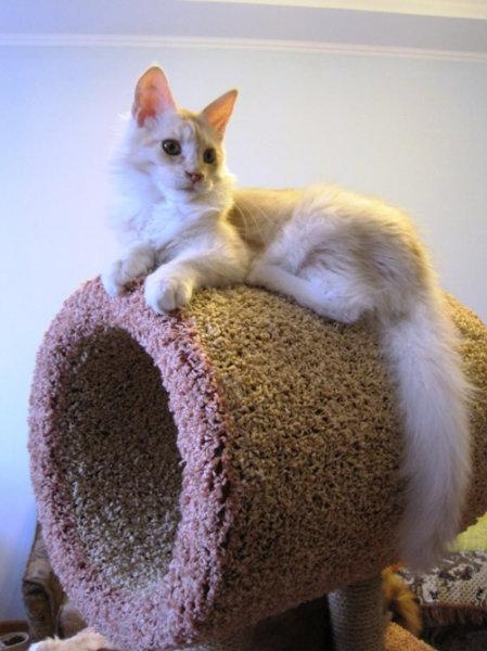 Продам: Котята Мейн Куны из питомника