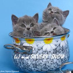 Продам Британские котята из питомника британски