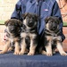 Продам Продается щенок немецкой овчарки