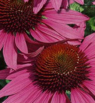 Продам: Продам рассаду цветов для озеленения
