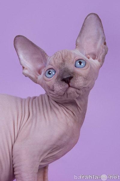 Продам Котята канадского сфинкса.
