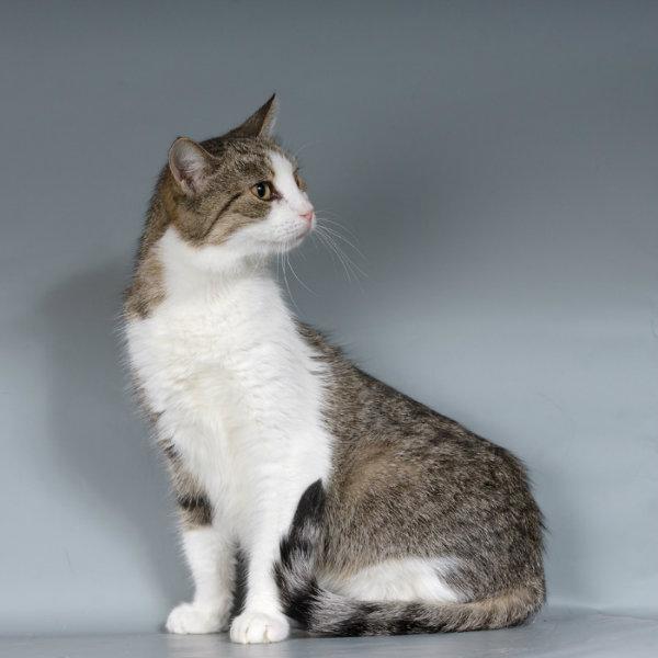 Отдам даром Дороти, умная, ласковая кошка ищет дом.