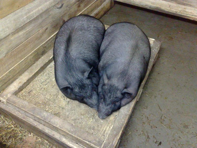 Продам Поросята вьетнамской вислобрюхой свиньи