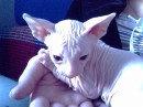 Продам: Котят донского сфинкса