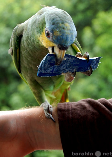 Продам попугай венесуэльский амазон птенцы