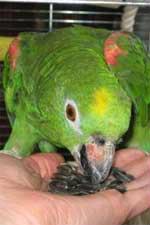 Продам: попугай желтолобый амазон
