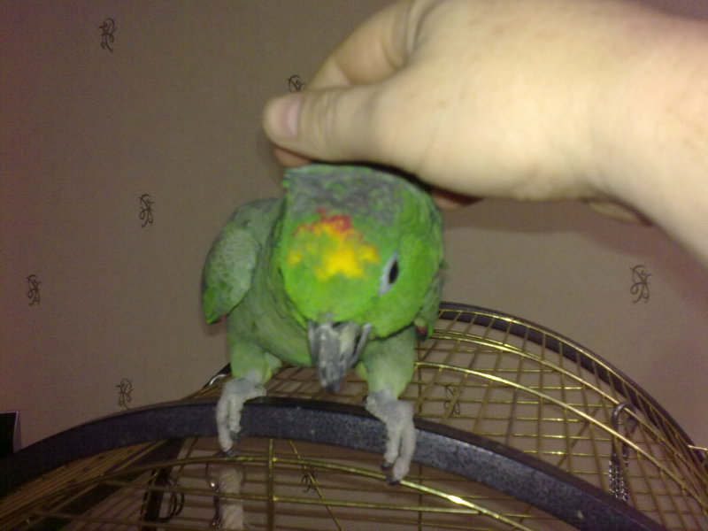 Продам: попугай амазон мюллера