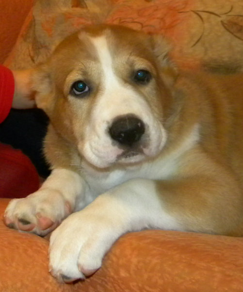 Продам: Алабай щенок