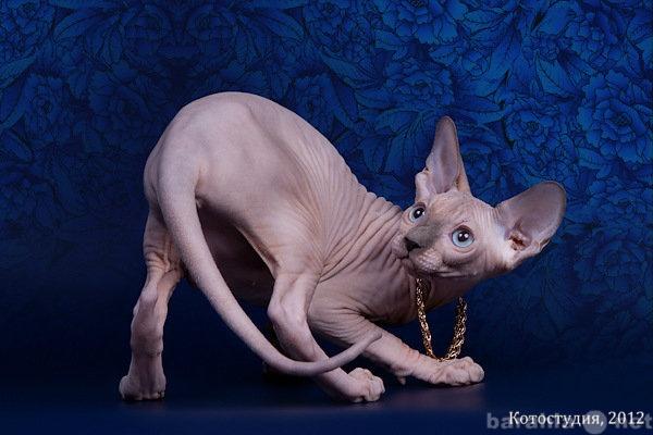 Продам Котёнок сфинкс - маленький талисман.