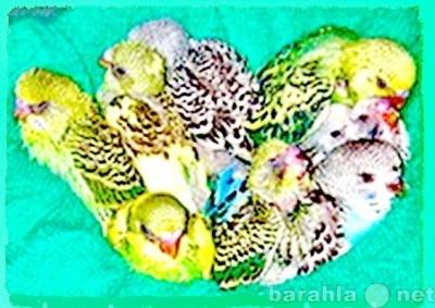 Волнистые попугаи домашнего разведения птенцы.