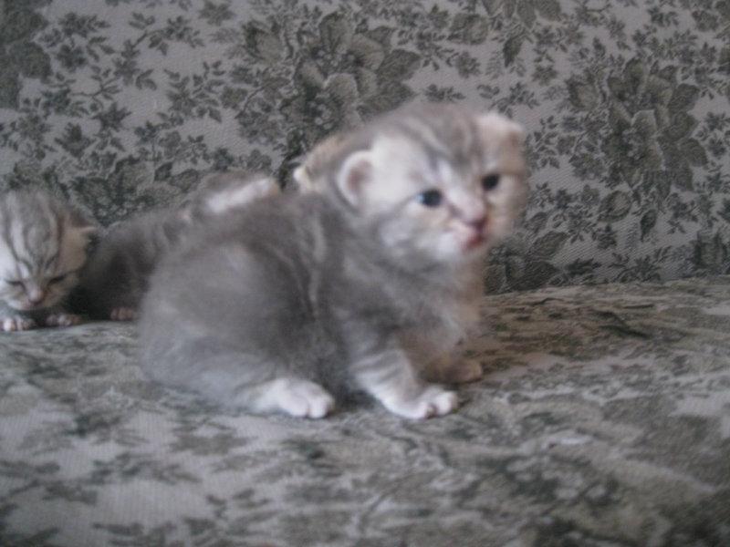 Продам: Продам британских котят