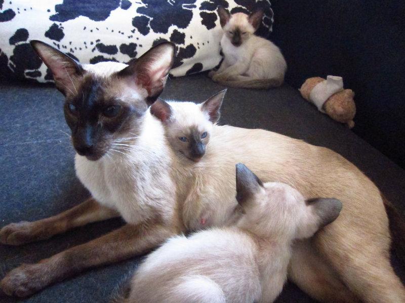 Продам: Сиамские котята