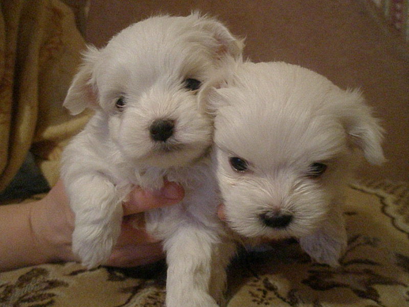 Продам: щенки мальтийской болонки .