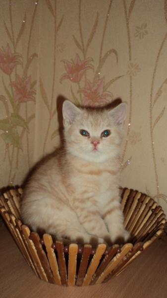 Продам: Котик  шотландской вислоухой породы.