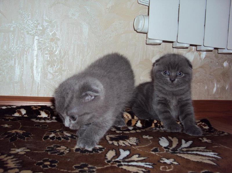 Продам: Шотландские вислоухие котята!!!