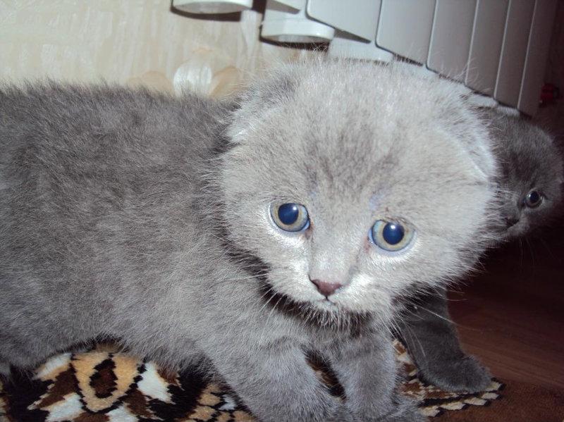 Продам: Шотландские котята!!!