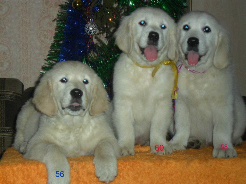 Продам: Шикарные щенки Золотистого Ретривера