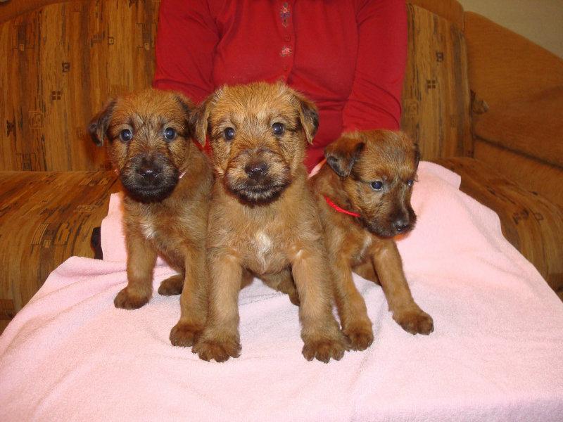 Продам: ИРЛАНДСКИЕ ТЕРЬЕРЫ, великолепные щенки