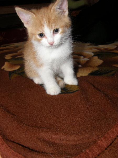 Отдам даром: Котенка, мальчика