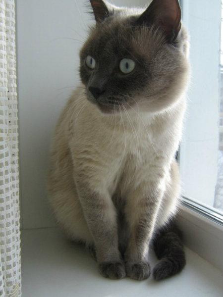 Отдам даром: Тайский кот