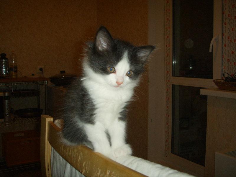 Продам: Сибирские котята