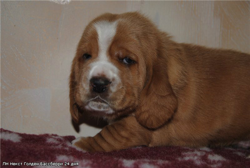 Продам: Бассет-хаунда щенки