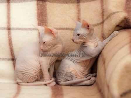 Продам: Египетские кошки