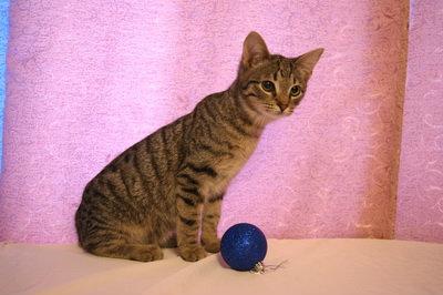 Отдам даром: Котенок-тигренок, мальчик, 3 месяца
