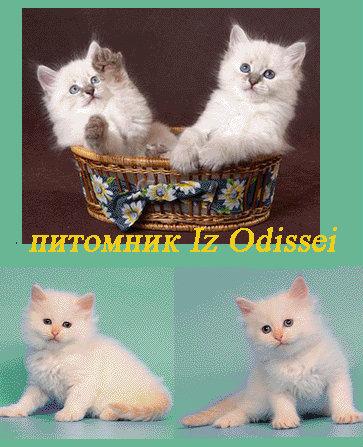 Продам Более 10 Невских Маскарадных котят !!!